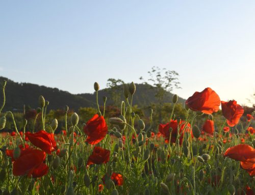 Poppies of Taehwagang River Grand Park, South Korea